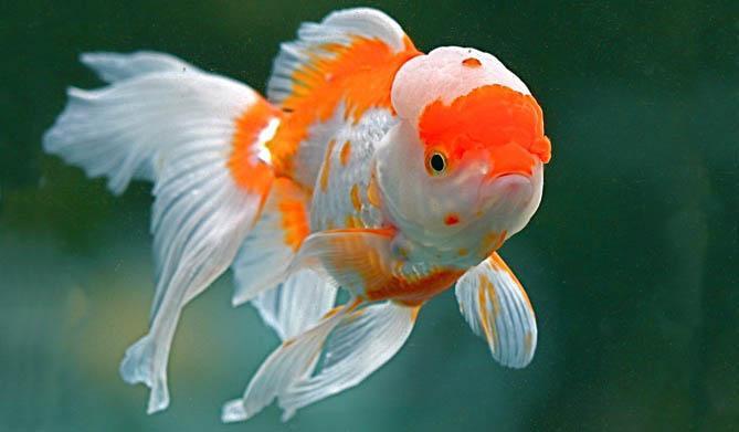pesce oranda testa di leone xl preistoria