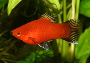 red-coral-platy